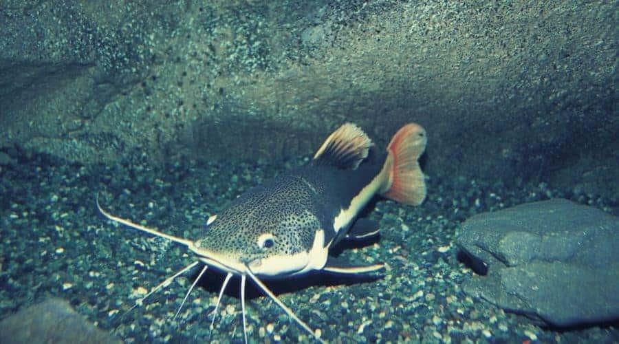 Most Common Catfish Animal Totems