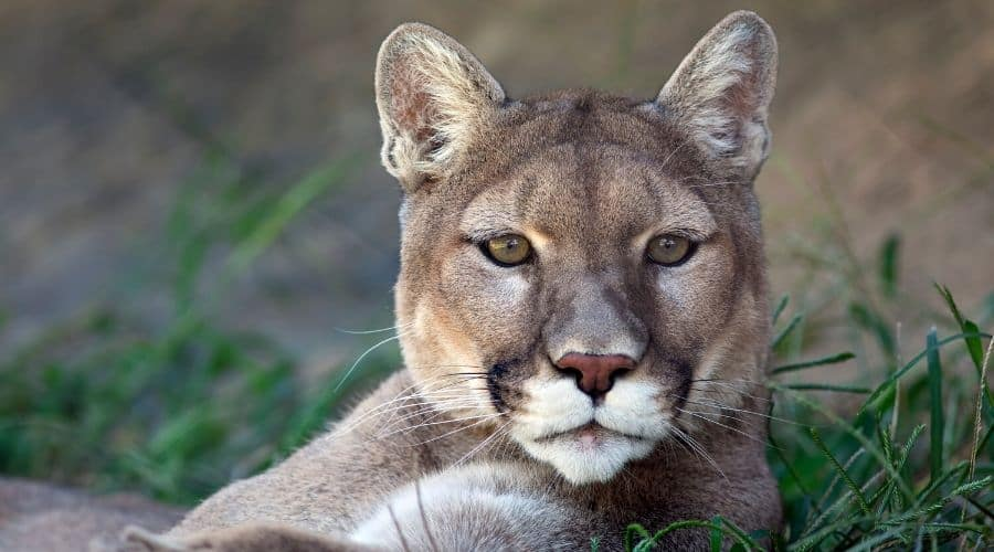 Cougar spirit animal frequently asked questions.