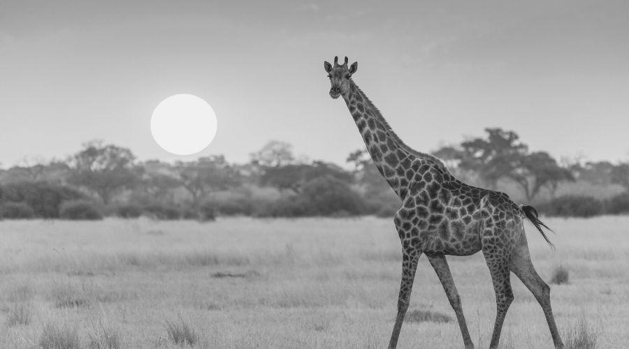 Seeing a giraffe when sleeping