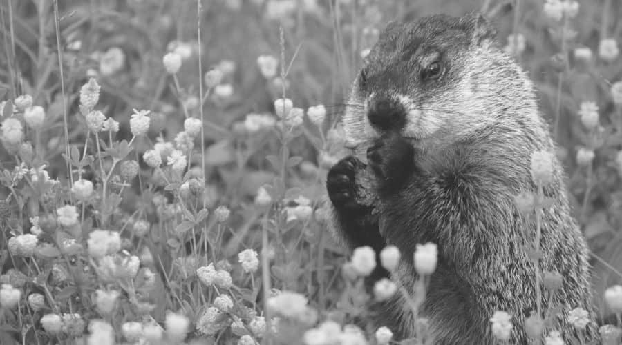 Seeing a groundhog when sleeping