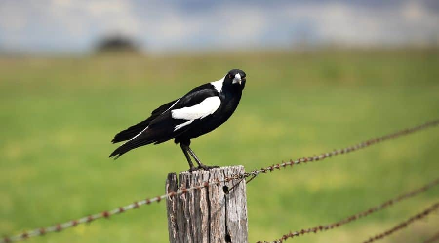 Magpie in the wild