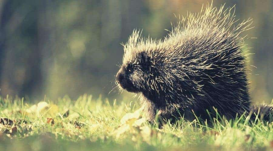 Most Common Porcupine Animal Totems