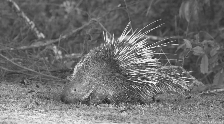 A porcupine seen in a dream