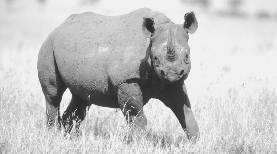 Seeing a rhinoceros in our dreams