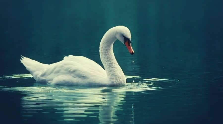 When To Call On The Swan Animal Totem