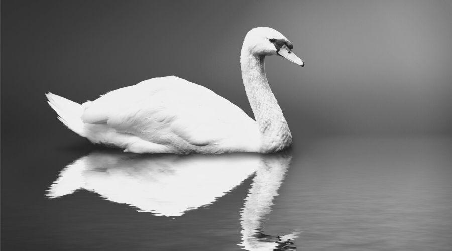Seeing Swans in Dreams