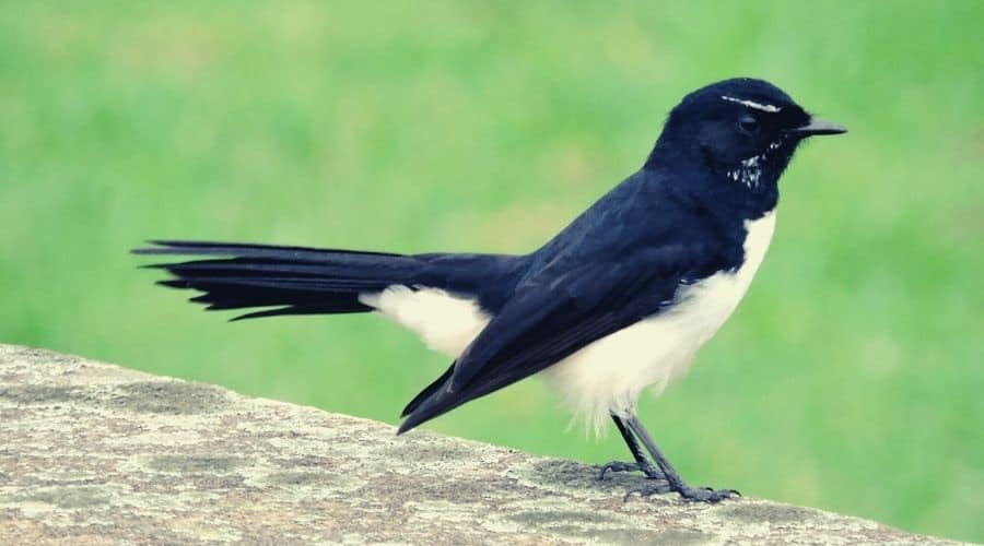 Most Common Willy Wagtail Spirit Totems