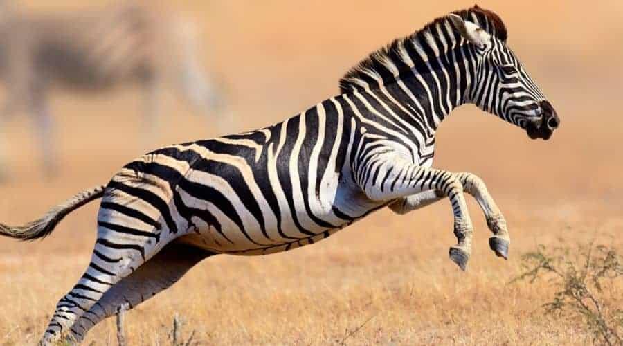 Zebra Positive Traits